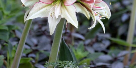Hippeastrum 'Magic Green' (Magic Green amaryllis) in the conservatory on December 14. Photo by Kelly Norris