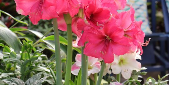 Hippeastrum 'Pink Surprise' (Pink Surprise amaryllis) in the Gardeners Show House. Photo by Kelly Norris