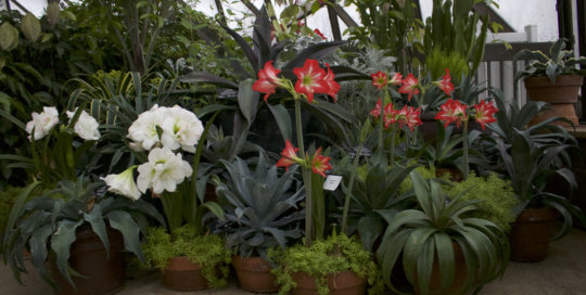A curated container montage on the conservatory balcony featuring Mangave and 'Baby Star' amaryllis.