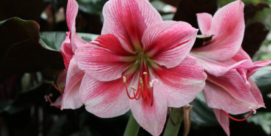 Hippeastrum 'Gervase' stands tall with a beautiful gradient of pinks in the Gardeners Showhouse.