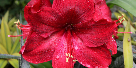 Hippeastrum 'Rapido' stuns viewers with its deep scarlet red bloom.