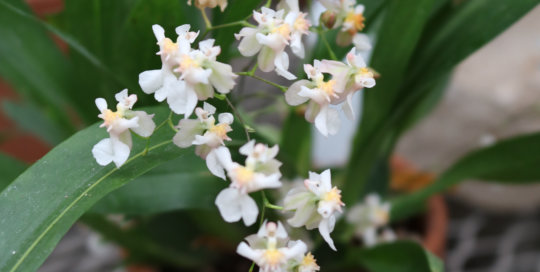 Oncidium Twinkle 'Fantasy' provides delightful container plant inspiration in the Gardeners Showhouse.
