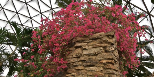 Climb to the top of the waterfall to see Bougainvillea 'Raspberry Ice' up close.