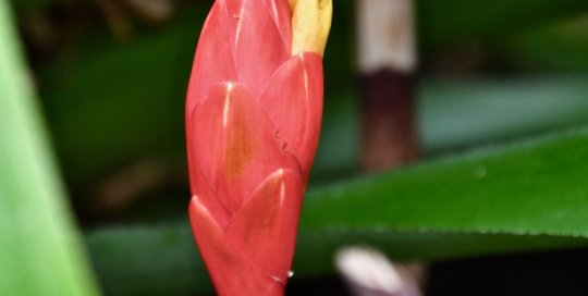 Costus stenophyllus (bamboo ginger) gracefully rises from the conservatory soil.