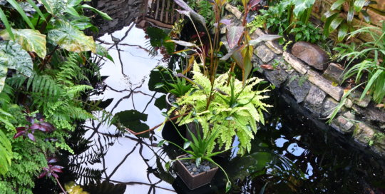 Even in winter, the conservatory pond comes alive with aquatic plants and fish.