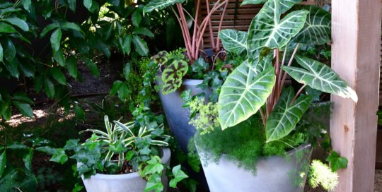 These leafy container plants thrive on display at the conservatory entrance.