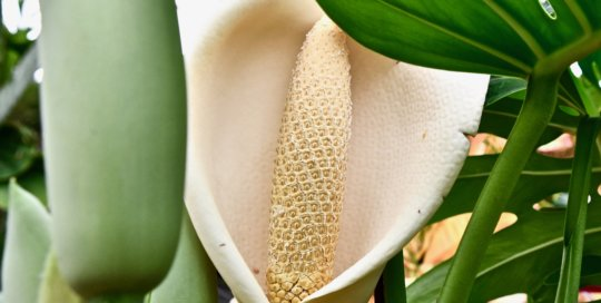 Monstera deliciosa (Swiss cheese plant) flowers with this mesmerizing, patterned bloom.