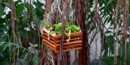 Nepenthes pitcher plants in a hanging tree basket.