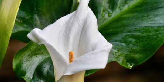 The calla lily enchants conservatory visitors with its classic beauty.