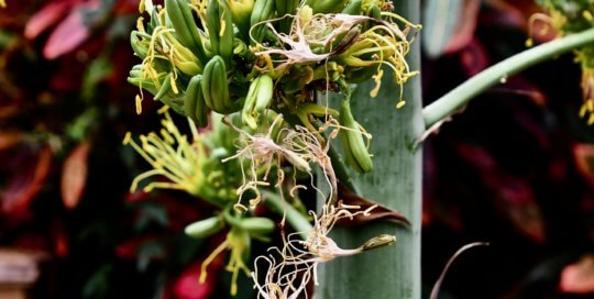 Agave desmettiana inflorescence in the conservatory.