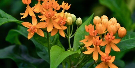 These bright orange Asclepias curassavica flowers are small but striking in the conservatory.