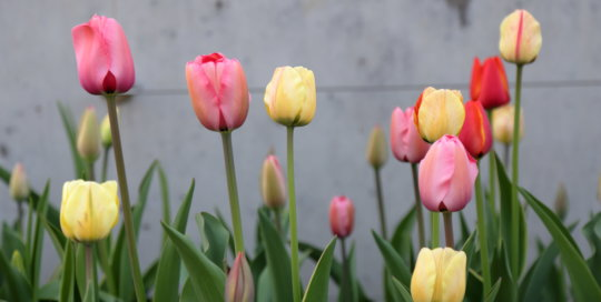 Candy colored tulips on the Espalier Wall in the Koehn Garden. Photo by Kelly Norris, April 16