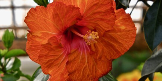 Bright orange and pink hibiscus flowers brought vibrant color to the Gardeners Show House in March.