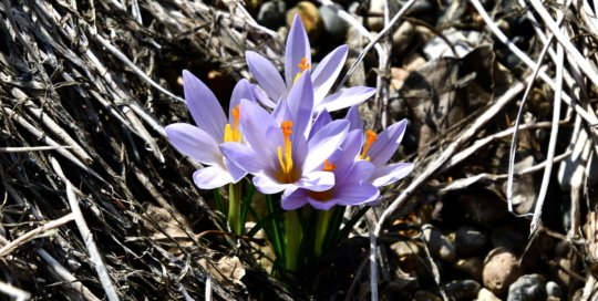 These beautiful lilac-colored crocus flowers signaled spring's welcome beginning this month.