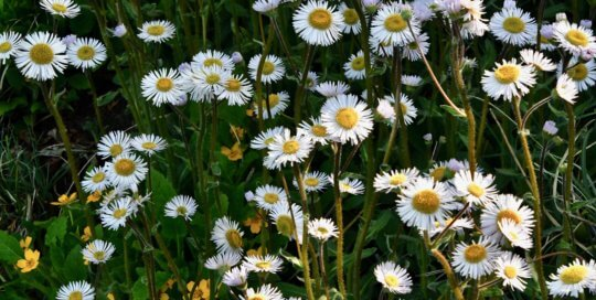 Erigeron pulchellus 'Lynnhaven Carpet' sprinkles the hillside garden with daisy-like flowers.