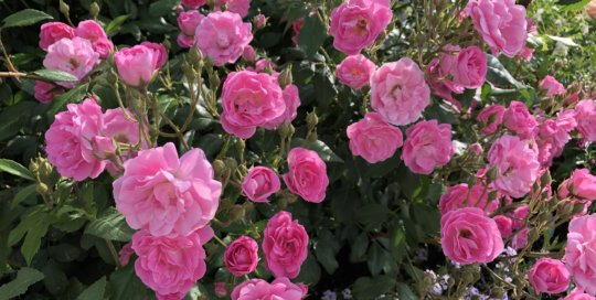 A group of pink roses stand out against their greenery backdrop in the Wells Fargo Rose Garden.