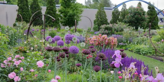Alliums (ornamental onions) and irises make for classic companions in late May in the Wells Fargo Rose Garden.