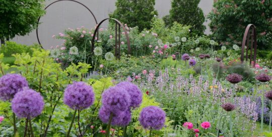 Alliums (ornamental onions) star in late May in the Wells Fargo Rose Garden.