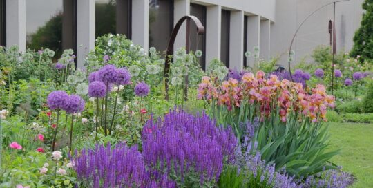 Alliums, salvia and irises in the Wells Fargo Rose Garden on May 30.