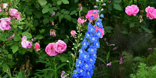 Delphinium blooms show off their bright indigo color in the sunlight of the Wells Fargo Rose Garden.