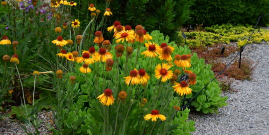 A group of Gaillardia flowers blooming in the Rutledge Conifer Garden.