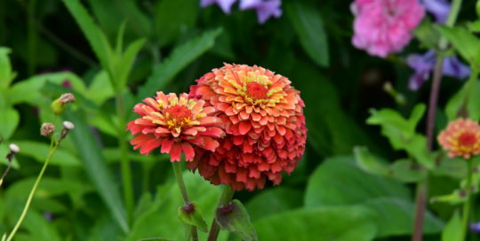 Zinnias planted in the Wells Fargo Rose Garden offer pops of color in shades of orange, yellow and pink.