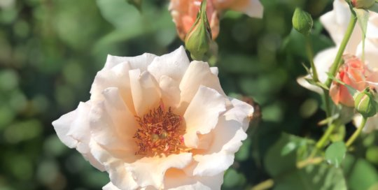 Pale peach Serendipity Buck roses added to the colorful variety of blooms in this June's Wells Fargo Rose Garden.