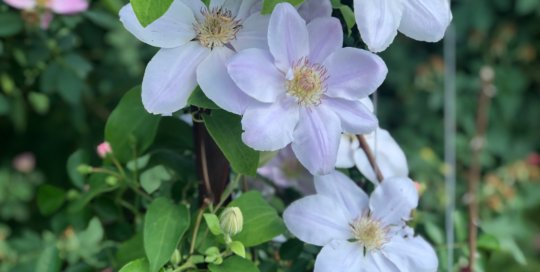 A 2019 Spring Garden Festival plant sale feature, Still Waters™ Clematis, began flowering in in early June.
