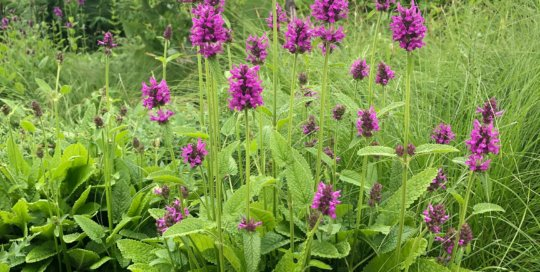 Stachys hummelo paints the parking lot garden landscape with magenta blossoms.