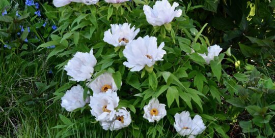 Peonia Ostii 'Phoenix White' offers its showy blooms on the hillside garden.