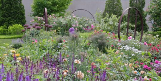 Colorful layers of salvia and roses paint the Wells Fargo Rose Garden in late May.