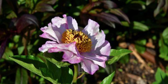 This 'Tranquil Dove' Peony catches the sunlight in the Koehn Garden.