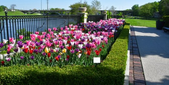 Vibrantly colored tulips open in the sunlight along the fence on the Principal Belvedere.