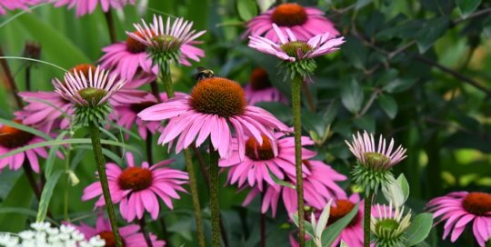 Clusters of pink coneflowers in the Koehn Garden attract countless bees and other pollinators.