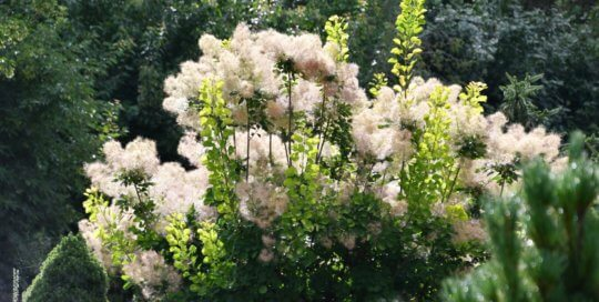 Smoke Bush (Cotinus coggygria) blooms in fluffy plumes in the Rutledge Conifer Garden.