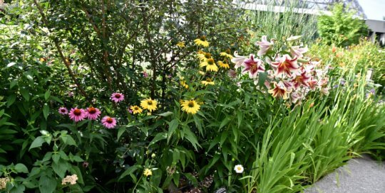Coneflowers and lilies intermix with vibrant colors in the Koehn Garden.