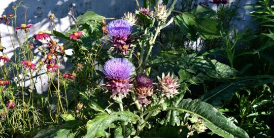 This cardoon (Cynara cardunculus) looks like a thistle and produces neon-purple blooms. Located along the Koehn Garden's Espalier Wall.