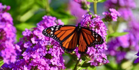 A monarch butterfly comes to rest on vibrant pink phlox blooms inside the Koehn Garden.