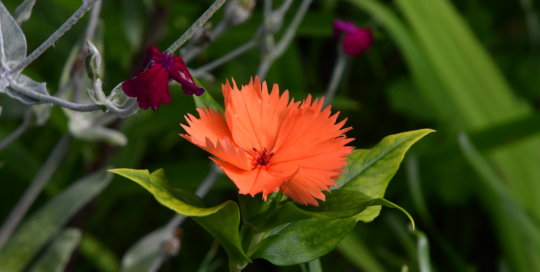 Lychnis coronata 'Orange Sherbet' adds pops of bright orange along the sidewalk in the Koehn Garden.