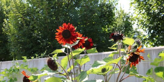 Stunning 'Claret' sunflowers stand tall as they catch the sunlight along the Espalier Wall.