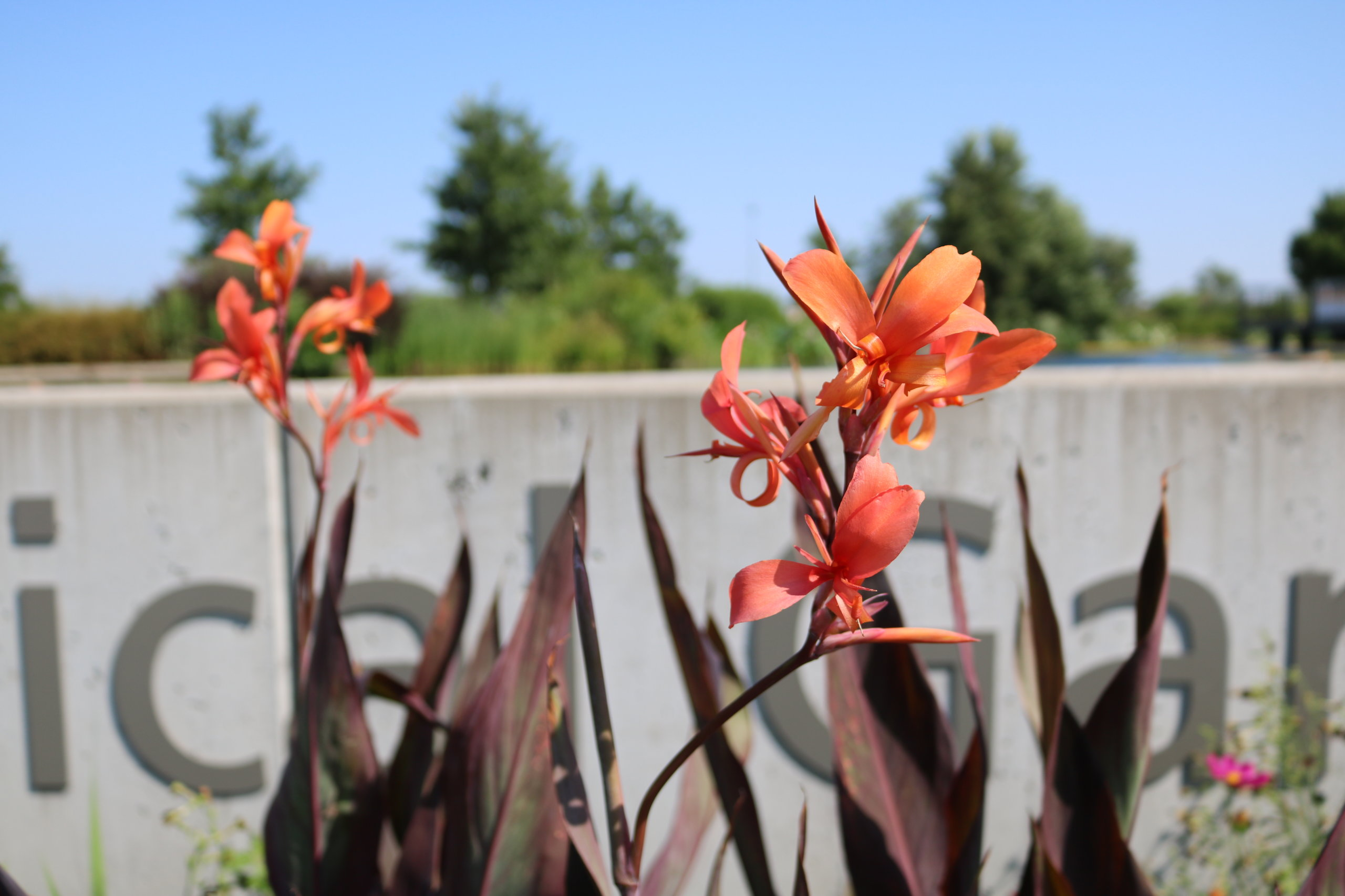 Canna 'Intrigue' stuns in the EMC Insurance Companies Entry Garden. This coral color is a sight to see in person!