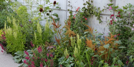 A series of amaranths and celosia form a colorful weft through this summer's lush planting on the espalier wall in the Koehn Garden.