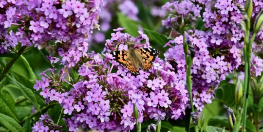 A painted lady butterfly comes to rest on Phlox paniculata 'Jeana'.