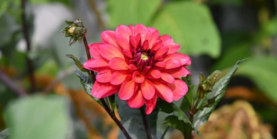 Colorful Dahlia 'Groovy' steals the show along the annual border in the Koehn Garden.