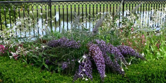 Buddleia 'Grand Cascade' takes center stage on the Principal Belvedere this August.