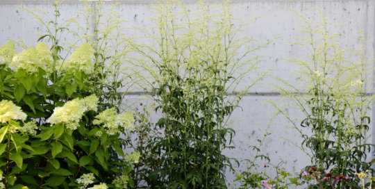 The sublime contrast between Artemisia lactiflora 'Elfenbein' (Elfenbein mugwort) and the walls of the Koehn Garden.