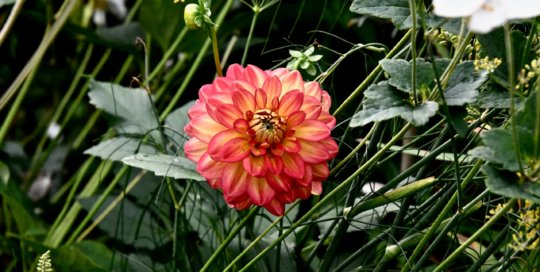 This colorful dahlia added pops of salmon and yellow in the Koehn Garden.