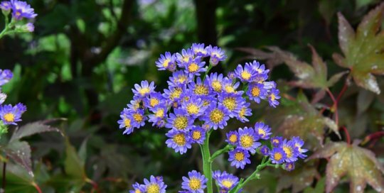 Aster tataricus 'Jindai' blooming in the hillside garden.