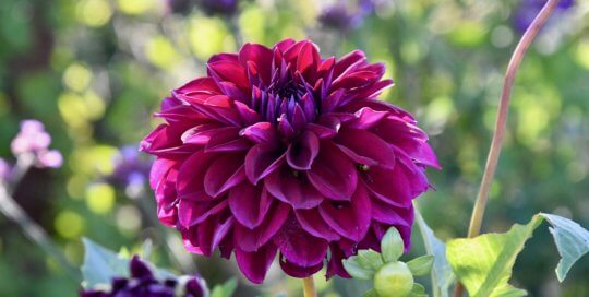 A stunning magenta dahlia unfurls in the Wells Fargo Rose Garden.