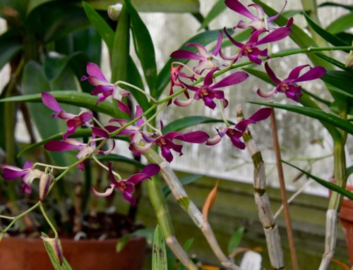 Orchids: Planting and Care Tips